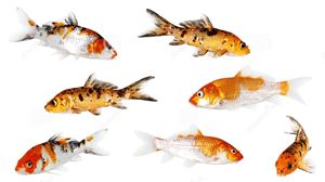 Picture for category Koi Food