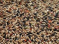 Picture of Westermans - Canary Seed Mix