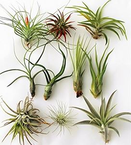 Picture for category Air Plants