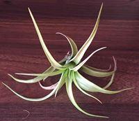 Picture of Tillandsia brachi multiflora