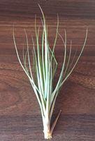 Picture of Tillandsia tenuifolia strand
