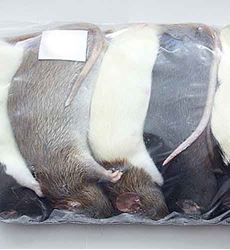 Picture of Rats - X Large 200-300g