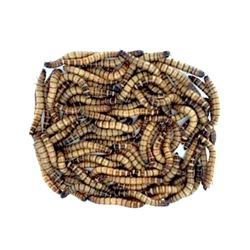 Picture of Superworms (Zoophobas Mario) ((SPECIAL PRICES))