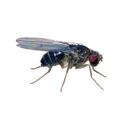 Picture of Black Flightless Fruit Fly (D. hydei)