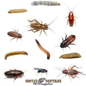 Picture for category Feeder Insects