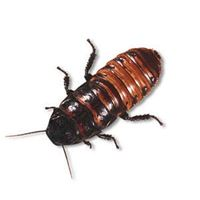 Picture of Madagascar hissing cockroach (Gromphadorhina portentosa)