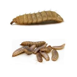 Picture of CALCI Worms (Black Soldier Fly larvae)
