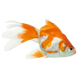 Picture for category Goldfish & Koi Selection
