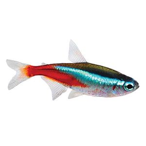 Picture for category Tetra Species