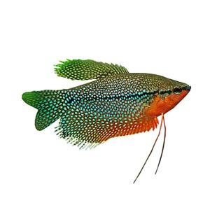 Picture for category Gourami Species