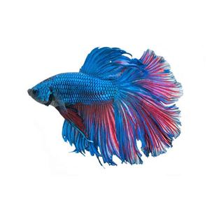 Picture for category Betta Fish