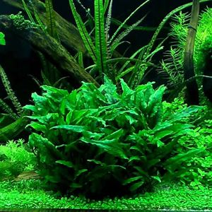Picture for category Middle Ground Plants