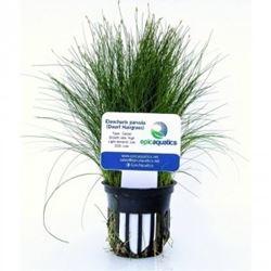 "Eleocharis Parvula ""Dwarf Hairgrass"""