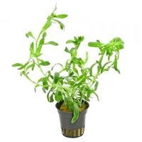 "Heteranthera Zosterifolia ""star grass"""
