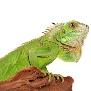 Picture for category Lizards