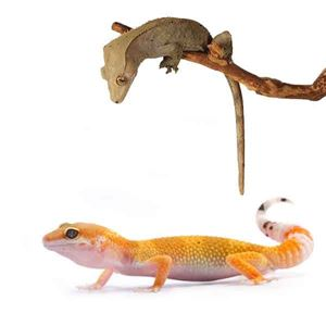Picture for category Geckos