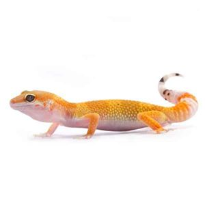 Picture for category Leopard Geckos