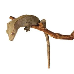 Picture for category Crested Geckos