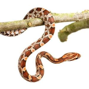 Picture for category Corn Snakes