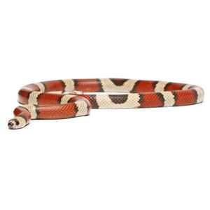 Picture for category Milksnakes