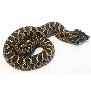Picture for category Hognose Snakes