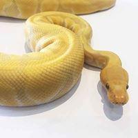 Banana Ball Python Female