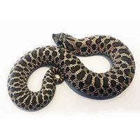 Western Hognose Snake Hatchling Female H2