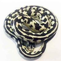 Banana California King Snake Hatchling Female #BC1