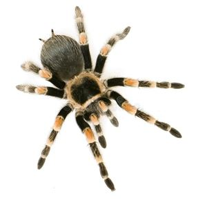 Picture for category Tarantulas