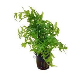 Ceratopteris siliquosa - Fine Leaf Indian Fern