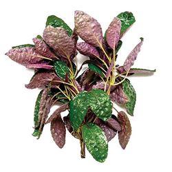 Hemigraphis colorata (narrow leaf)