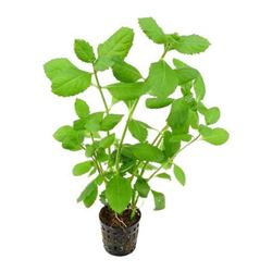 Hygrophila difformis (wisteria)
