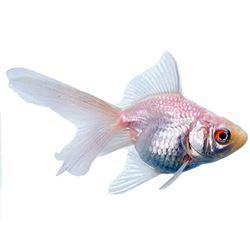 White Fantail Goldfish