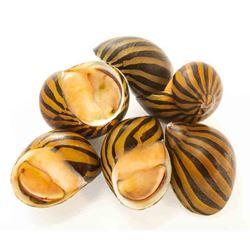 Zebra Nerite Snails