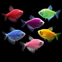 Glo Widow Tetra Assorted Colours