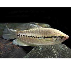 Snakeskin Gourami (Trichopodus pectorali)