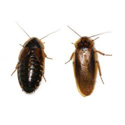 Picture of Dubia roach (Blaptica Dubia) Nymph 100 PC