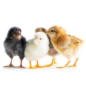 Picture for category Day Old Chicks